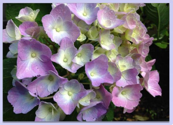 alzheimersflower