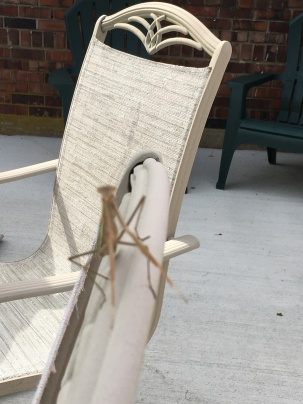 Praying Mantis looking at me directly! The Presents of Presence
