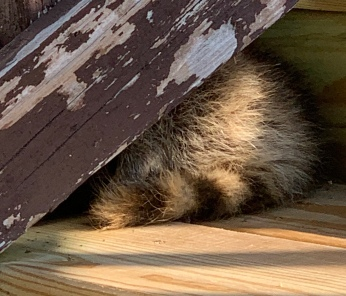 Bandit taking a comfy nap.
